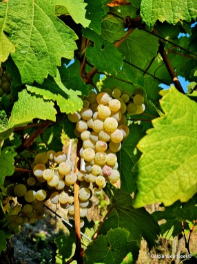 Ripe & juicy Riesling grapes from the Meierer domain in Kesten, Germany