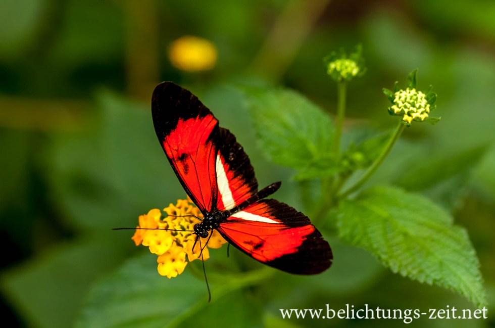 Schwarz-Roter Schmetterling