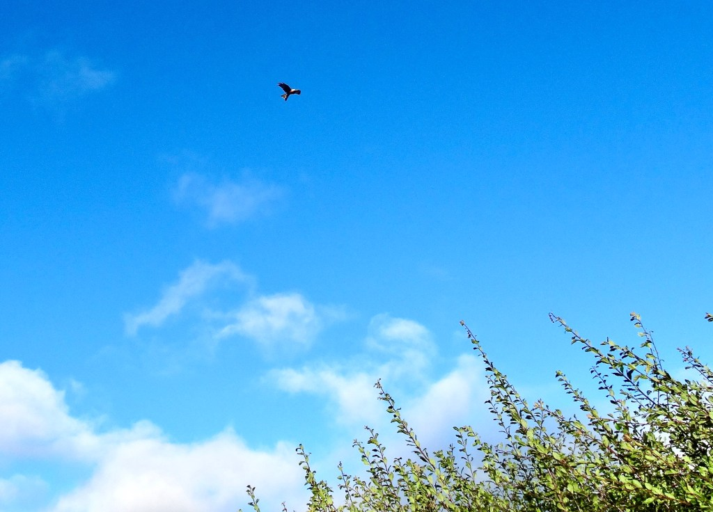 Red kite soaring in blue sky