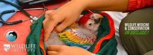 Wildlife Medicine & Conservation in Belize