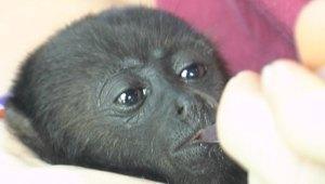 BWRC-Black-Howler-Monkey-3