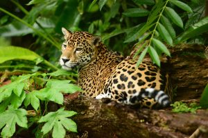 Belize wildlife - Jaguar