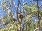 Koala (Yanchep National Park)