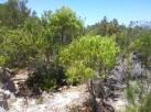 Quandong tree (Nambung National Park)