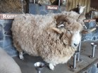 big sheep (Agrodome)