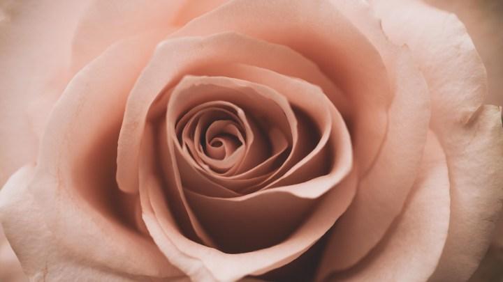 macro photography rose bellamusing