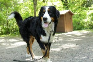 Bellamy Bernese Mountain Dogs