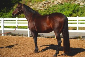Sonate, owned by Bellamy Brook Stables of Maple Ridge BC