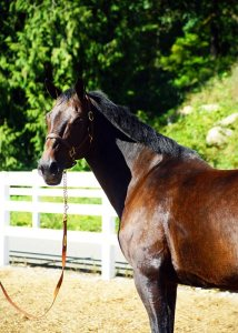 bellamy brook stables mare sonate