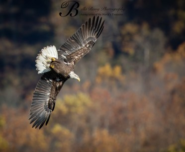 Soaring by the autumn leaves