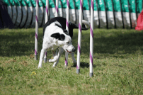 Dog weaving through poles