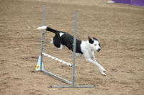 Dog jumping over barrier