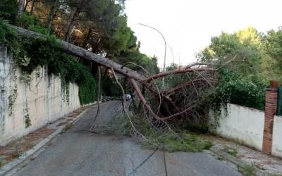 Un arbre de grans dimensions cau al carrer de Margenat