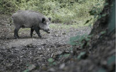 Promouen menjar la carn de senglar per reduir la seva població