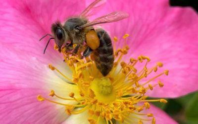 La UAB confirma que la vespa asiàtica és una gran amenaça per les abelles