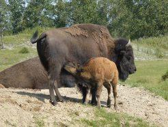 bison zoo St Félicien