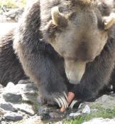 grizzli - zoo St Félicien