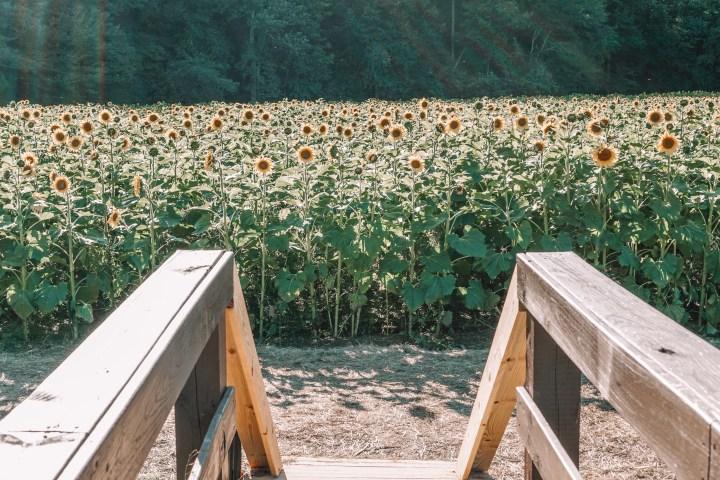 fausett fields sunflowers in Dawsonville Georiga