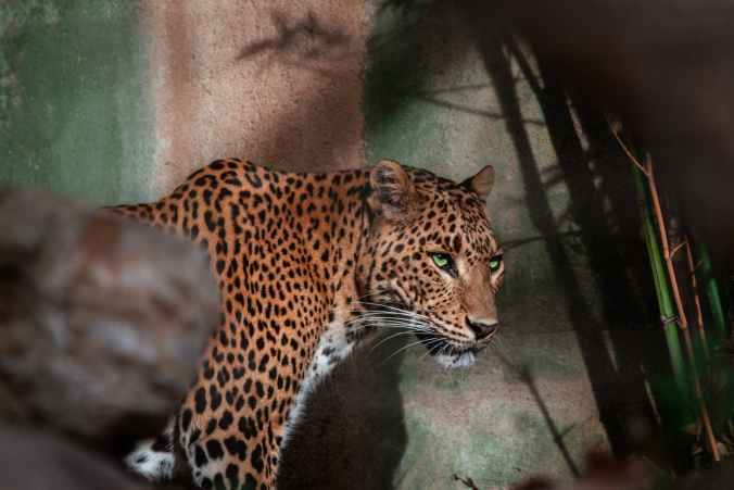 adorable leopard standing in zoological garden