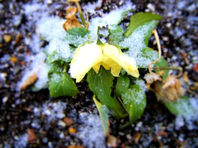 Snow_flower_small_2