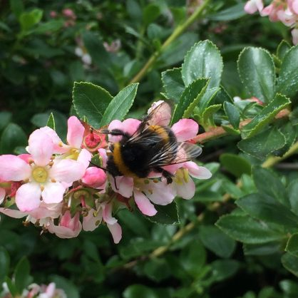 30 Days Wild – Day 15 – The Great British Bee Count