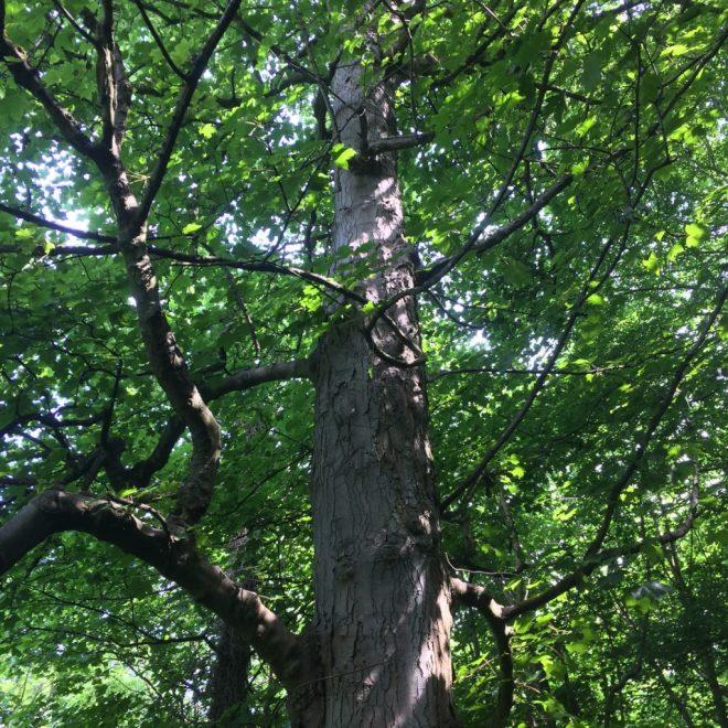 Tree in the glen