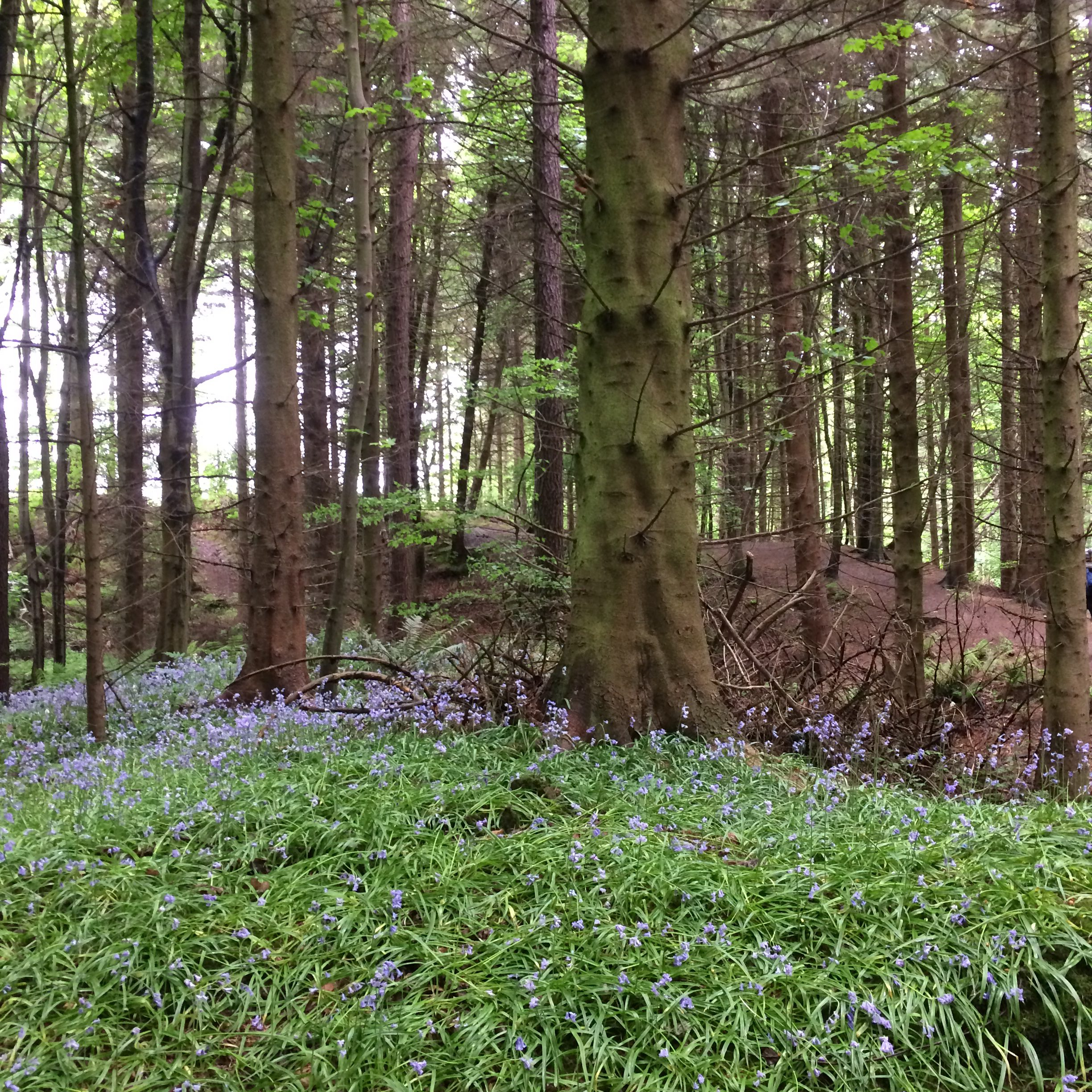 Reasons to go camping - Bluebells in the woods at Falkland, Cupar, Scotland