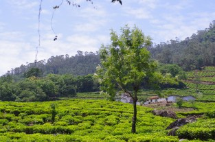 Tea Plantations, The Nilgiris