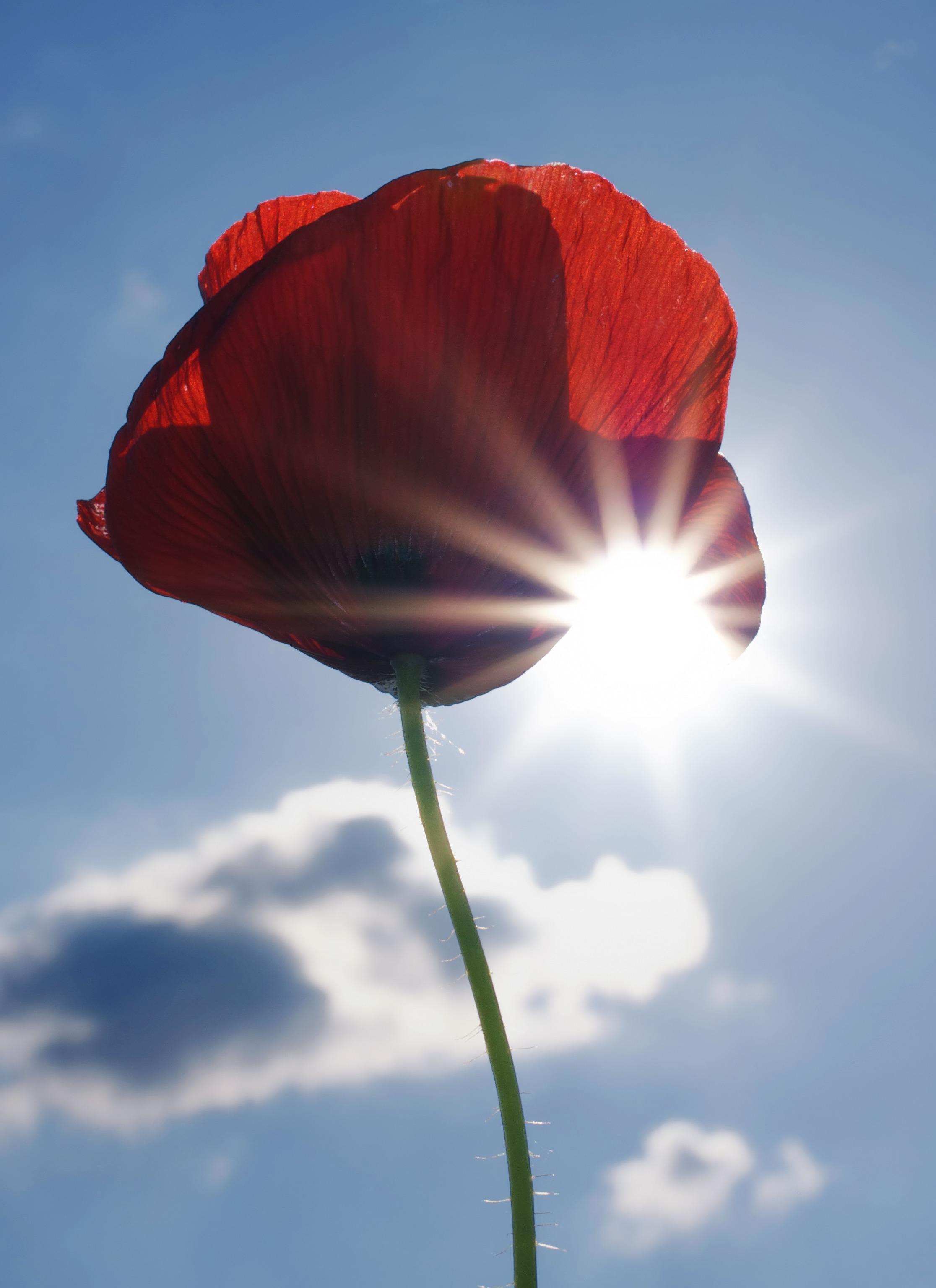 poppy_poppy_flower_flower