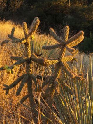cholla -Patagonia Arizona Trail