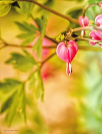 This bleeding heart was actually horizontal when this shot was taken. I was just experimenting to see what I might get with the bleeding hearts on a windy day.