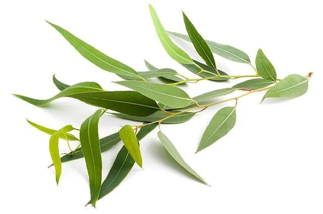 O eucalipto é um remédio natural para congestão nasal