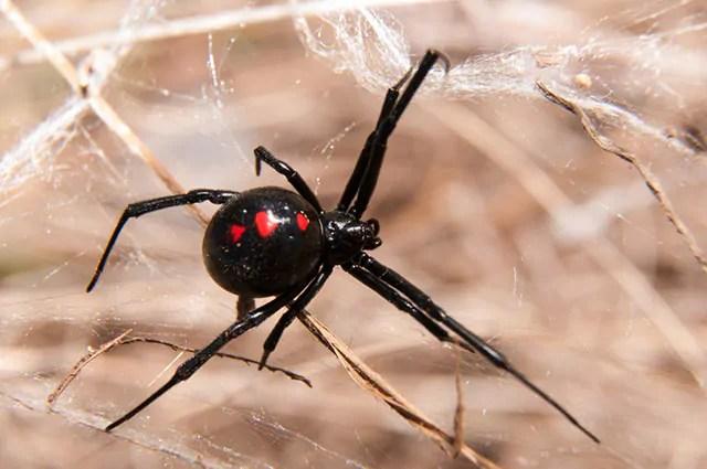 A aranha viúva negra é um dos tipos de aranhas brasileiras