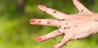 Remédio caseiro para picada de formiga