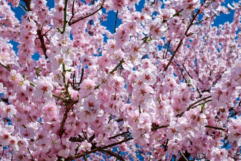 Cherry Blossom Season Korea gyeongju cherry blossom festival