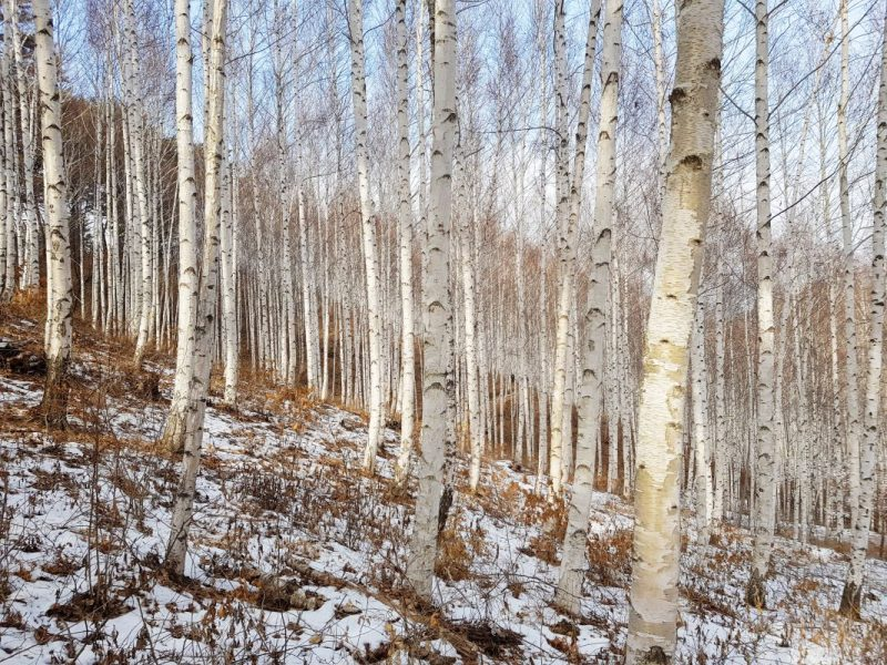 Birch Trees Winter