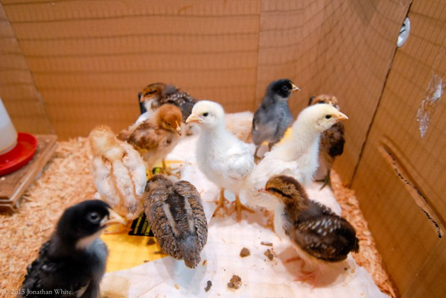 These little chicks are growing quickly and are starting to get some feathers. I need to get the building finished, FAST!