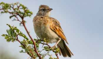 A type of Lark that has ascended up a tree.