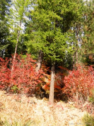 Fall color at the Metolius Preserve