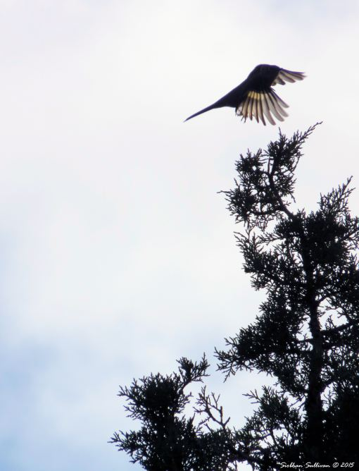 A fluttering of wings - Townsend's Solitaire in Bend, Oregon  October 2015