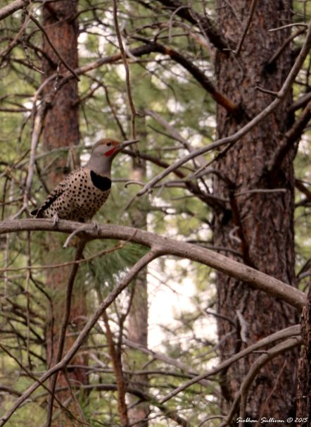 Northern Flicker 11-14-2015
