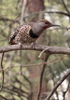 Northern Flicker2 11-14-2015