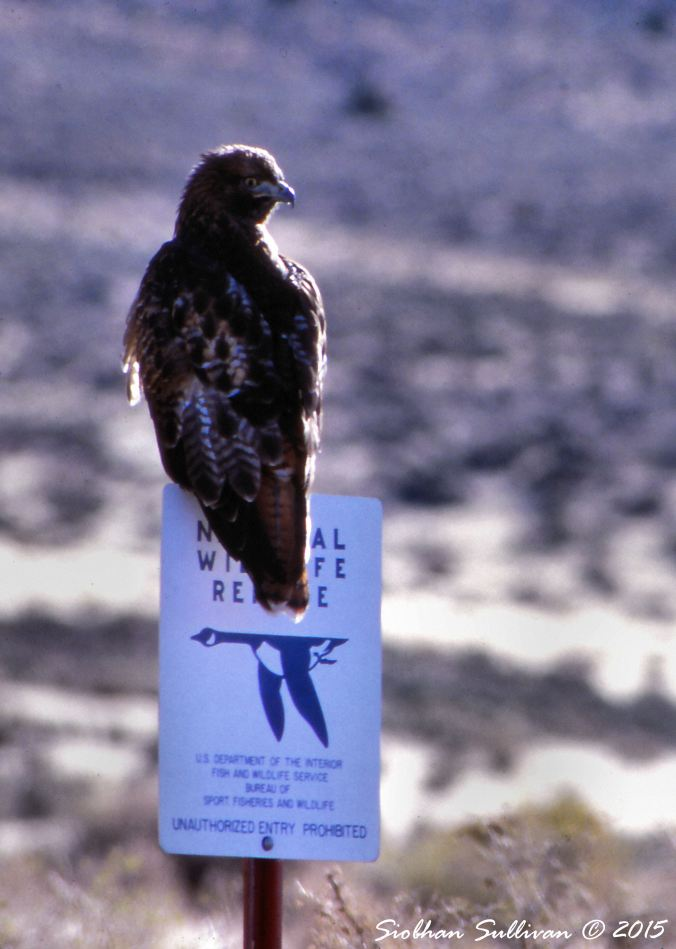 Gratefulness a red-tailed hawk perched on Hart Mountain sign