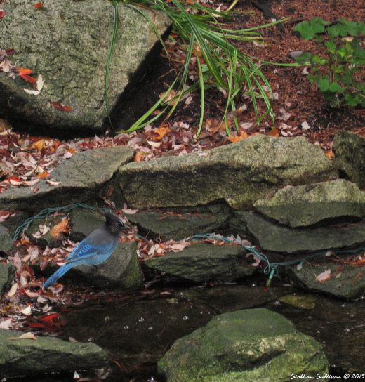 Steller's Jay, Harrison Hot Springs, B.C.