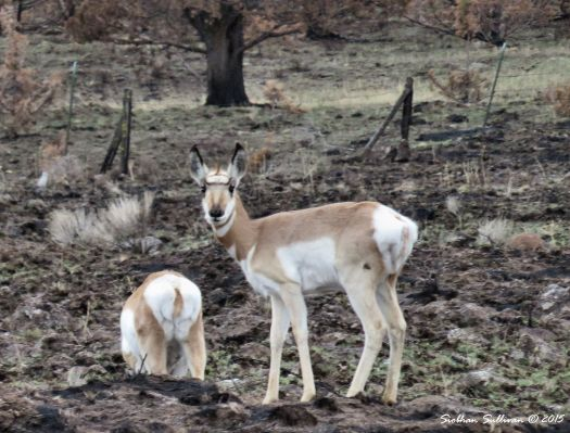 Home on the Range Pronghorn near Antelope, OR 12-11-2015