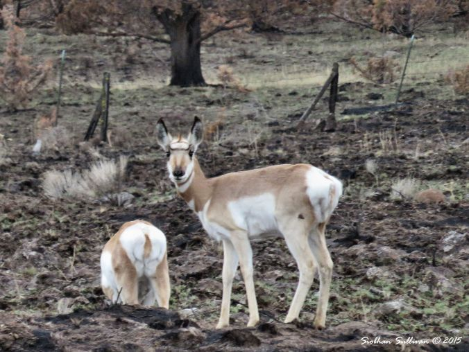 Pronghorn near Antelope, OR 12-11-2015