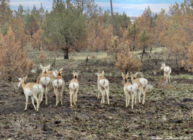 High desert  Reindeer Pronghorn near Antelope,OR 12-11-2015