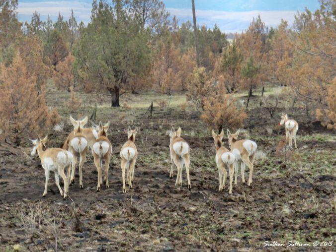 Pronghorn near Antelope,OR 12-11-2015
