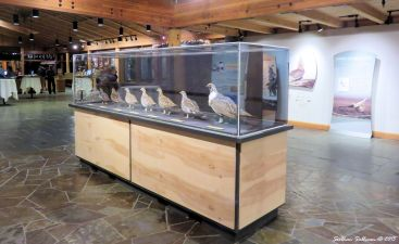 Sage Grouse exhibit