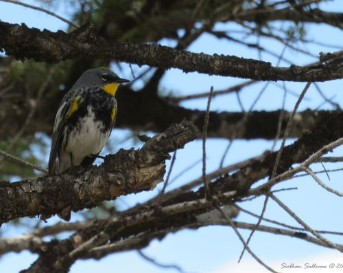 Twittering Audubon's warbler